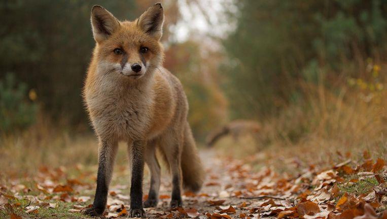 De vos, een van de hoofdrolspelers in het op de Veluwe gefilmde Wild Beeld Wild