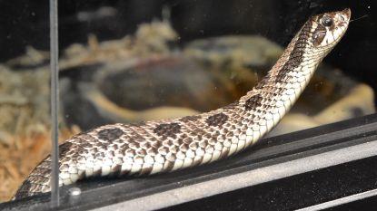 VIDEO. 29 slangen zorgen voor onrust in appartementsblok in Wevelgem