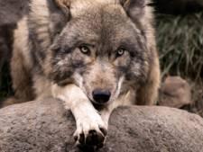 Jagers zeggen wolf te hebben gezien vlak over de grens bij Winterswijk