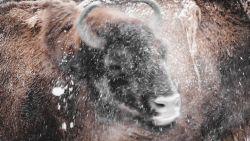 IN BEELD. Dieren in Planckendael genieten van de sneeuw
