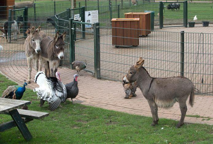 Joop Riverdance (rechts) ontmoet de andere ezels Lotje en Zazou.