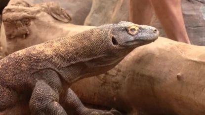 Ontmoet de fysiotherapeut die reptielen met artritis behandelt
