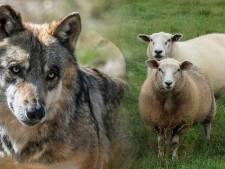 De Veluwse wolvin is nu gek op wild, maar doodde onderweg wel de meeste schapen