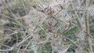 Spinselmot actief in Hoge Dijken en dat zorgt voor spectaculaire beelden