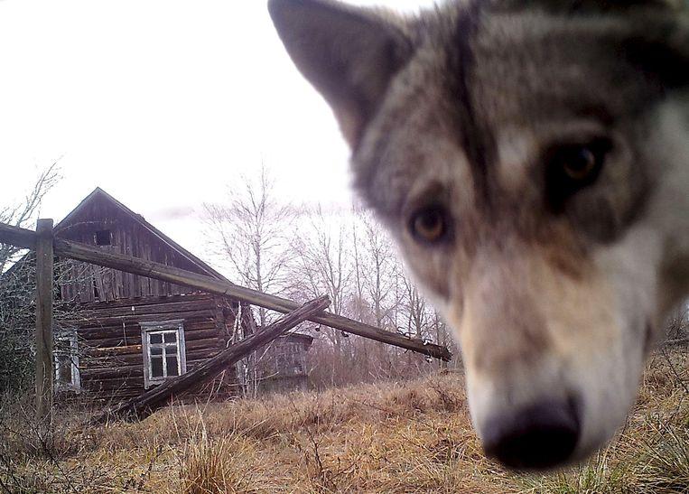Een wolf in een verlaten dorp in Wit-Rusland kijkt in de camera. Beeld REUTERS