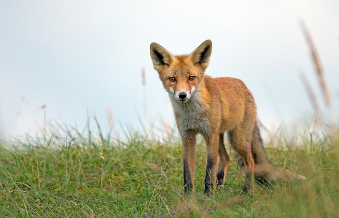 Er zijn vossen in de Hoeksche Waard, maar het publiek zal ze weinig tegenkomen.