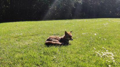 Maak kennis met Foxy, de schattige vos van de VRT