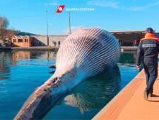 Une énorme baleine morte découverte près de Naples