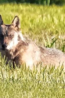Dode schapen in Aalburg waren inderdaad het werk van een wolf, boer krijgt schade vergoed