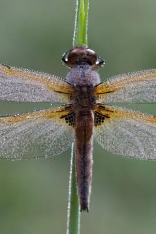 Veel libellen dankzij extreem voorjaar
