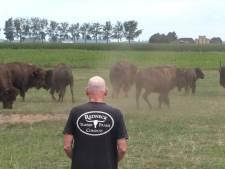 Bizons van Paul brengen Wild West-taferelen in Brabantse polder