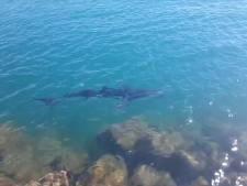 Grote haaien zwemmen zeer dicht aan de kust in Spanje