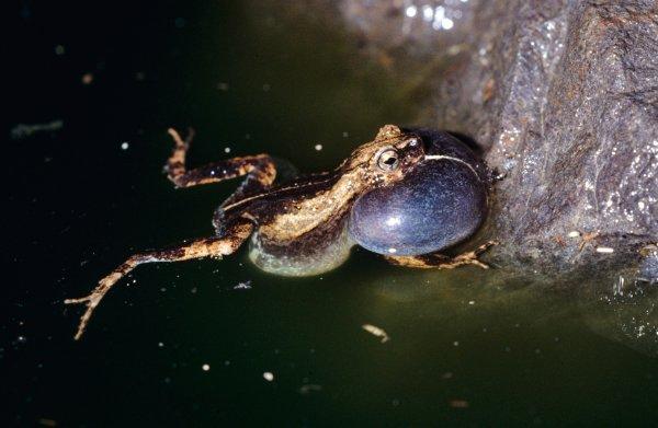 Stadse kikker aantrekkelijker voor vrouwtjes dan soortgenoot in bos