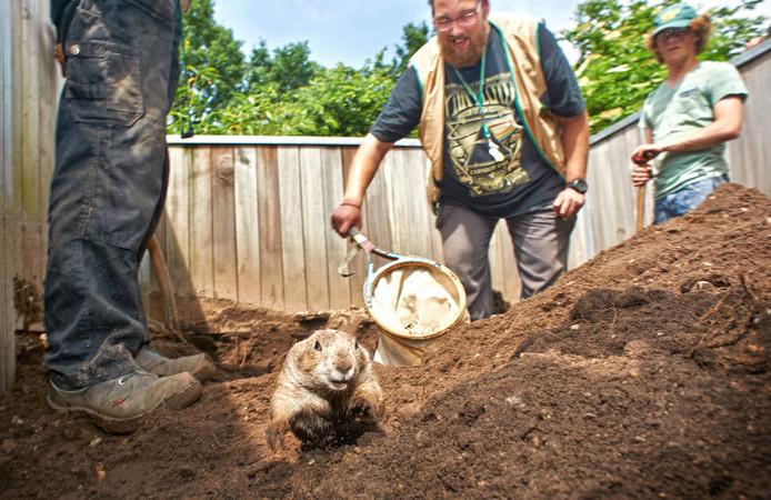 Een van de prairiehonden probeert te ontkomen aan het vangnet van Auke Opdam.
