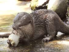 Otters in DierenPark Amersfoort smullen van speciale waterijsjes