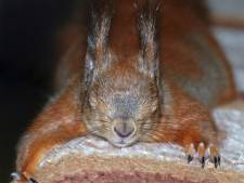 Eekhoorns weigeren nog steeds over te steken via hun eekhoornbrug: 'De plek lijkt niet logisch'