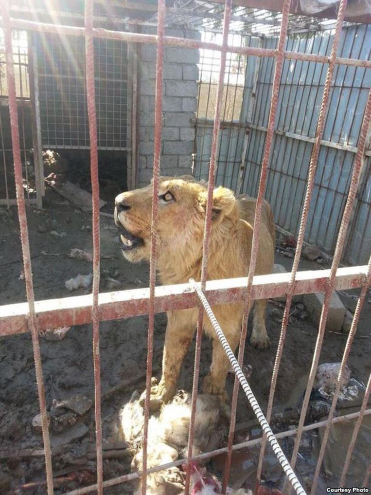De leeuw na zijn eerste voederbeurt in maanden. Beeld Kurdistan Organization of Animal Rights Protection
