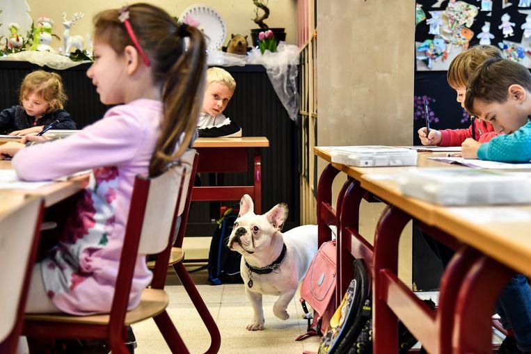 In het eerste leerjaar werken de kinderen geconcentreerder terwijl Franse Bulldog Jos tussen de banken loopt.