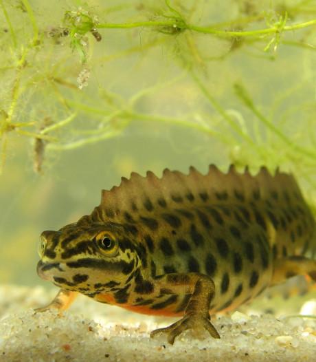 Watersalamanders in Twente ontwaken deze weken uit de winterslaap