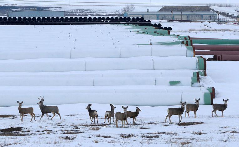 Herten bij een depot met pijplijnen voor het Keystone XL-project in Gascoyne, North Dakota.