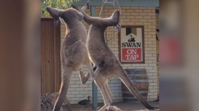 Une bagarre entre deux kangourous filmée devant un bar.