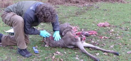 Wolvin laat aangevreten hert liggen bij Apeldoorn. Ecoloog enthousiast: 'Uniek!'