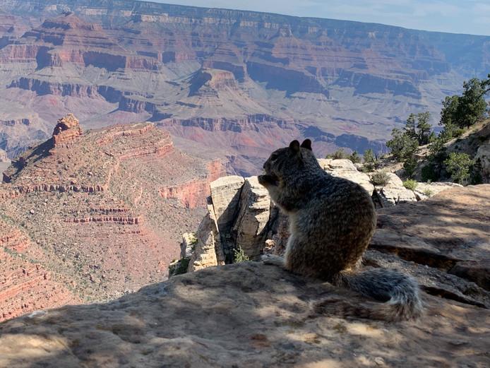 Bij dit punt van de Grand Canyon liepen er eekhoorns die de mensen op enkele centimeters benaderen. Deze eekhoorn ging met zijn ontbijt genieten van het prachtige uitzicht.