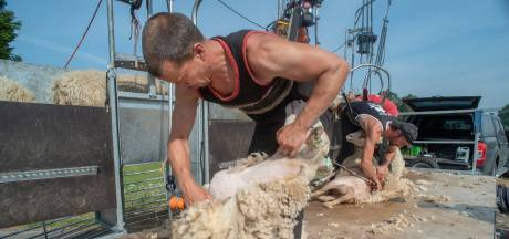 Kudde schapen ontdaan van jas: 'Als het kouder wordt hebben ze weer een volle vacht'