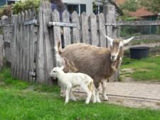 Moedergeit Jojanneke adopteert schapenlam nadat eigen jong overlijdt