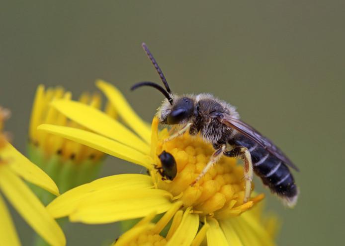 L'halicte à quatre ceintures est un insecte rare ressemblant vaguement à une abeille.