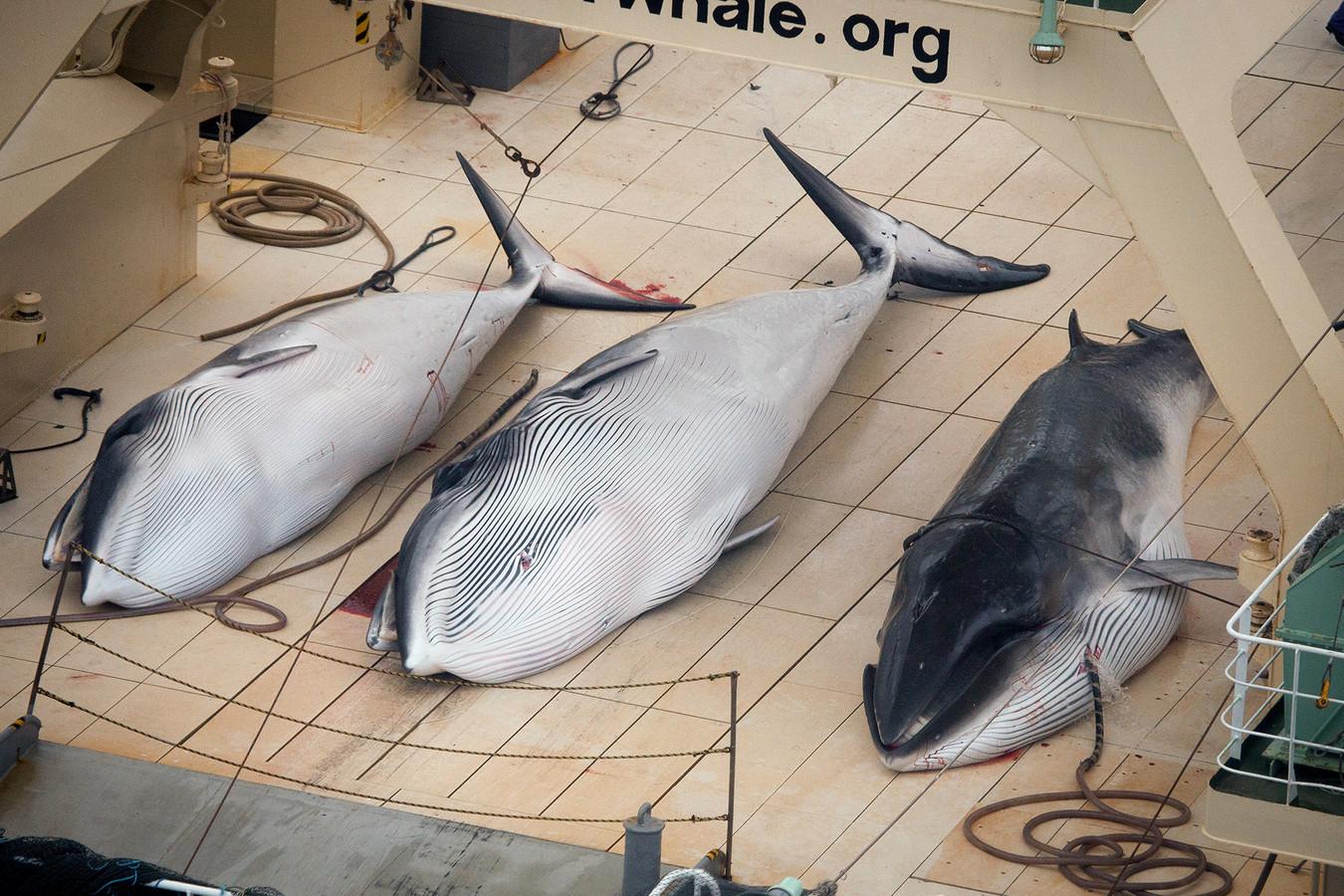 Sea Shepherd wist honderden walvissen te redden, toch maakte de Japanse jacht slachtoffers in de Zuidelijke Oceaan.