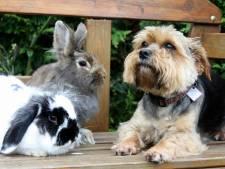 Huisdieren kunnen snel oververhit raken, vooral oppassen bij honden en konijnen