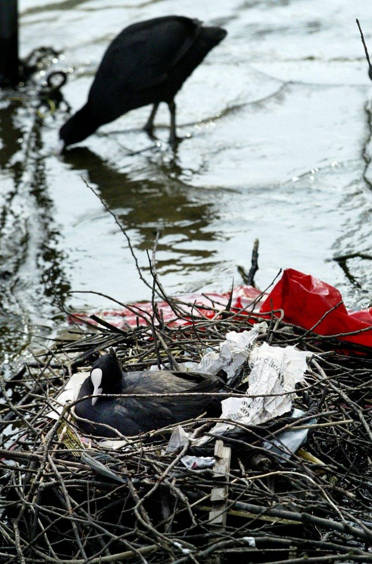 Een meerkoet heeft een nest gebouwd van takken, kranten en ander afval uit de stad. Beeld anp