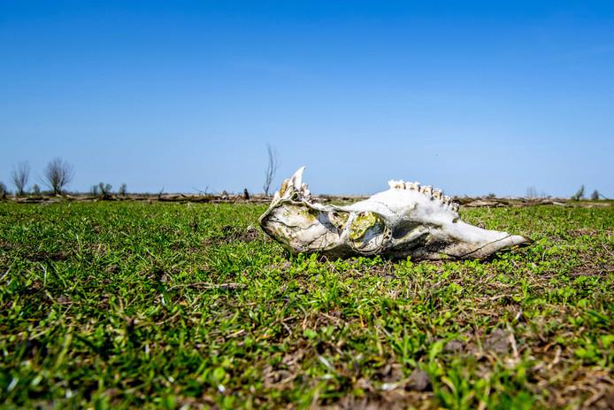 De schedel van een edelhert in de Oostvaardersplassen.