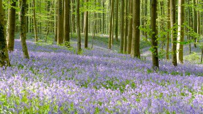 In deze tien bossen vind je ook prachtige paarse hyacinten