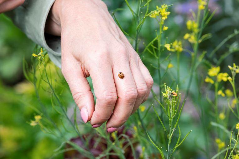 Zie je amper lieveheersbeestjes in je tuin? Geen nood, je kunt ze bestellen!