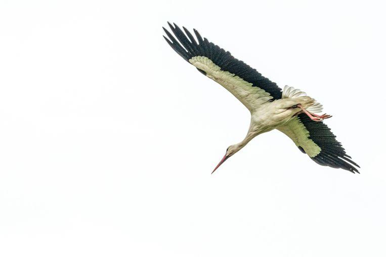 Ooievaars kunnen nu ook een nest maken in Landegem.
