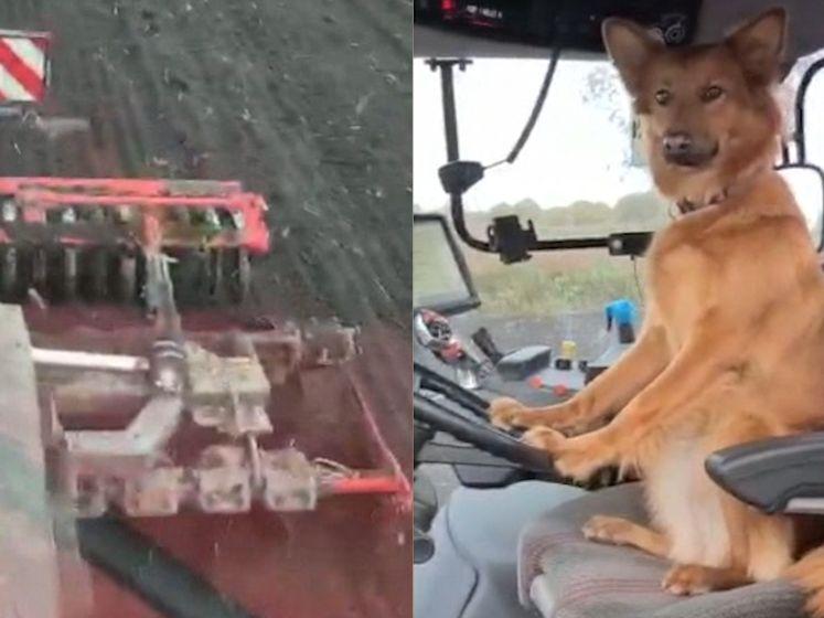 De harigste loonwerker: deze hond rijdt met de tractor