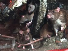 Politiek: strijd tegen ratten in Bilthoven-West hard nodig