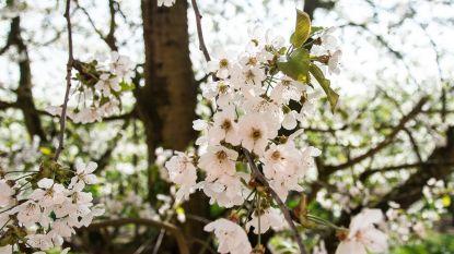 Genieten van voorjaarspracht tijdens bloesemwandeling in en om Mussenzele