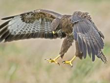 Fietsers en joggers in West-Brabant opgepast: boze buizerds beschermen hun nest