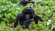 Populatie berggorilla's bezig aan fragiel herstel
