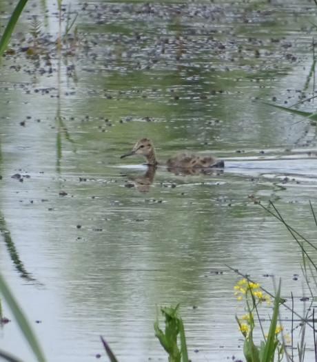 Babyboom aan kuikens van weidevogels in het Staphorsterveld
