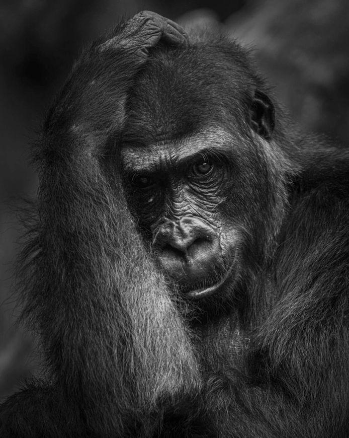 De winnende foto van de gorilla in Burgers Zoo.