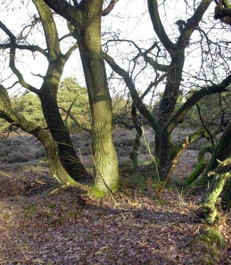 'Oud eikenbos op de Veluwe dreigt te verdwijnen door stikstof'