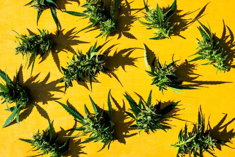 Pattern of fresh green weed marijuana (cannabis) buds or flowers on yellow background. Flat lay.