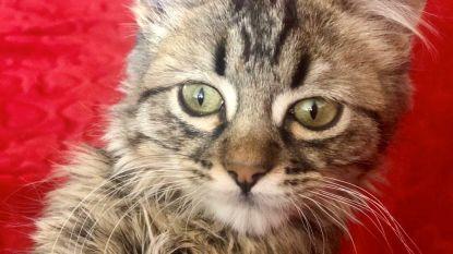Rechter geeft FAVV ongelijk: katje Lee mag blijven leven