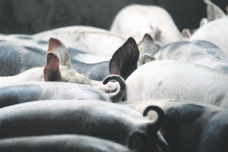 Varkens in een varkensstal.  Beeld Marcel van den Bergh / de Volkskrant