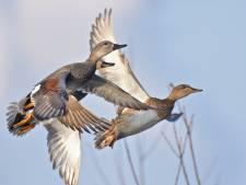 Waarom de krakeend oprukt in het Groene Hart: goed verstopt nest en vaderlijke zorg van woerd