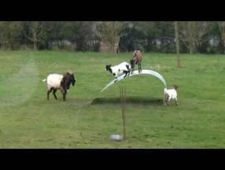Cirque du Soleil voor geiten